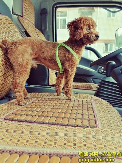济南找狗,寻找爱狗泰迪酬谢跪谢感谢好人,它是一只非常可爱的宠物狗狗,希望它早日回家,不要变成流浪狗。