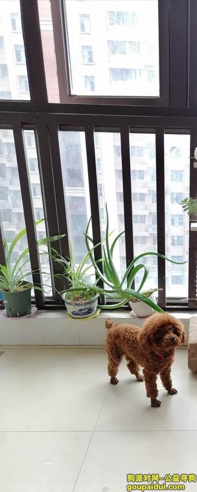 【南昌找狗】,南昌汇仁大道附近走丢泰迪妹妹,它是一只非常可爱的宠物狗狗,希望它早日回家,不要变成流浪狗。