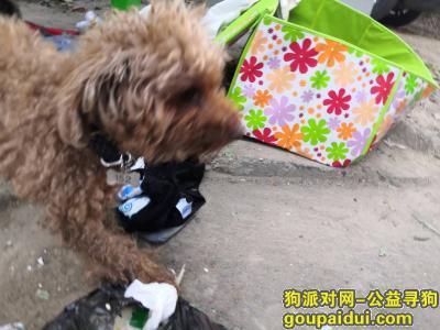 北京朝阳豆各庄泰迪寻主人,它是一只非常可爱的宠物狗狗,希望它早日回家,不要变成流浪狗。