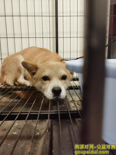 找狗,本人于10月17号晚在西区医院蜀汉路东附近捡到一只田园犬,背浅黄肚子白色,浅毛,请主人看到消息及时联系13378238877,它是一只非常可爱的狗狗,希望狗狗早日回家,不要变成流浪狗。