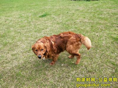 寻狗启示,在山阴路上丢失一只棕金色的金毛,收留或者知情的朋友与我们联系。有重金酬谢谢谢你们!!!,它是一只非常可爱的狗狗,希望狗狗早日回家,不要变成流浪狗。