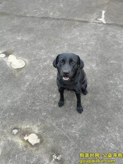 找狗网,黑色拉布拉多纯种偏胖,汇融广场附近10.19早上走丢,它是一只非常可爱的狗狗,希望狗狗早日回家,不要变成流浪狗。