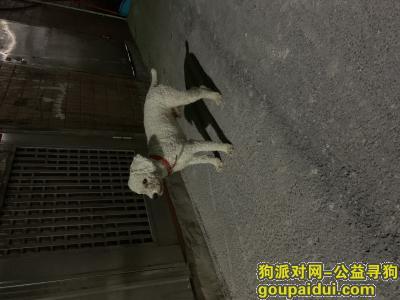 广州找狗主人,白色贵宾 红色项圈 公 有尾巴 剃毛不久,它是一只非常可爱的宠物狗狗,希望它早日回家,不要变成流浪狗。