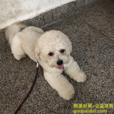 郑州寻狗,郑州金水区寻狗启示 白色比熊,它是一只非常可爱的宠物狗狗,希望它早日回家,不要变成流浪狗。