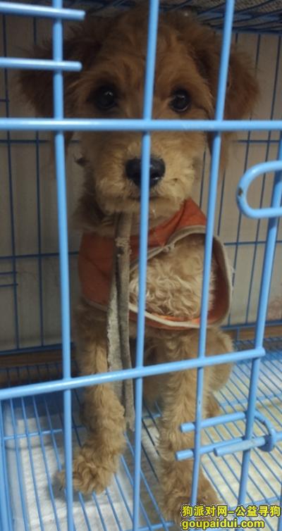 南昌寻狗网,在罗家镇捡到一只泰迪犬,它是一只非常可爱的宠物狗狗,希望它早日回家,不要变成流浪狗。