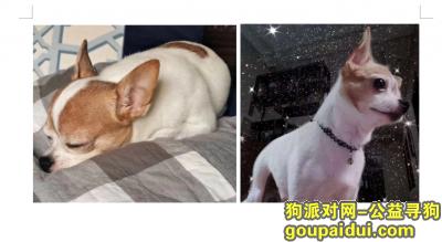 郑州找狗,郑州金水区经纬花园南门酬谢5000元寻找吉娃娃,它是一只非常可爱的宠物狗狗,希望它早日回家,不要变成流浪狗。