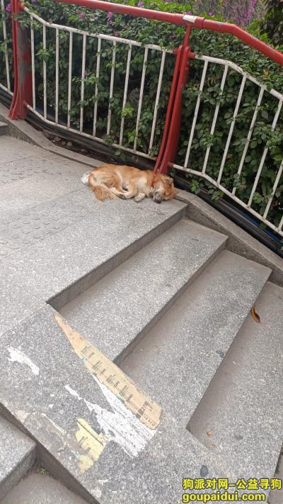 广州捡到狗,路上看到一条黄色流浪狗,它是一只非常可爱的宠物狗狗,希望它早日回家,不要变成流浪狗。