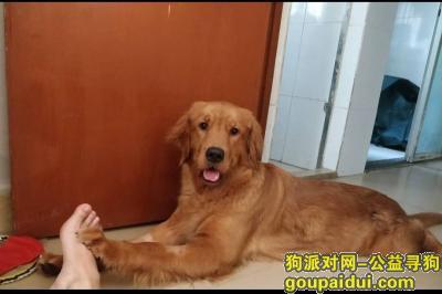 湛江寻狗,湛江市菉塘金毛走丢,请看到的好心人联系一下我,拜托了,它是一只非常可爱的宠物狗狗,希望它早日回家,不要变成流浪狗。