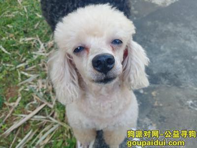 海口找狗,海口美兰区海甸岛二东路附近丢失的白色泰迪,它是一只非常可爱的宠物狗狗,希望它早日回家,不要变成流浪狗。
