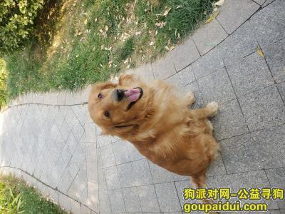 【沧州找狗】,重金寻找金毛犬,11月18日在沧州运河区丢失,请联系13731737916,它是一只非常可爱的宠物狗狗,希望它早日回家,不要变成流浪狗。