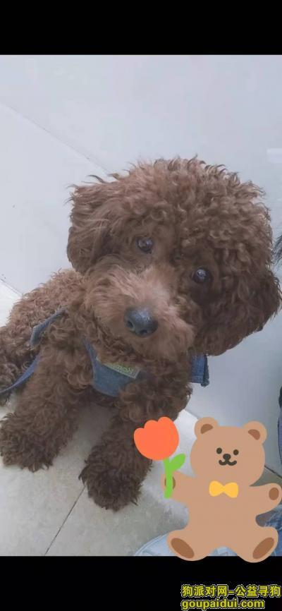 珠海寻狗网,6个月的泰迪,在珠海造贝附近走失,它是一只非常可爱的宠物狗狗,希望它早日回家,不要变成流浪狗。