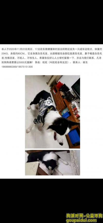 东莞寻狗,寻找我家边牧旺旺(5000元酬谢),它是一只非常可爱的宠物狗狗,希望它早日回家,不要变成流浪狗。
