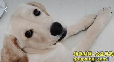 找狗,重金寻狗   5个月拉布拉多  名字  奥迪   奶油色  耳朵有点红色,它是一只非常可爱的狗狗,希望狗狗早日回家,不要变成流浪狗。