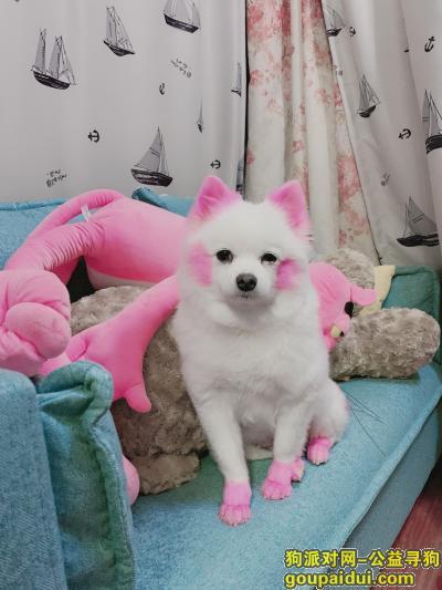 昆明找狗,博美 全身白毛 耳朵 脚 尾巴 脸染粉色,身上没有任何物件,它是一只非常可爱的宠物狗狗,希望它早日回家,不要变成流浪狗。