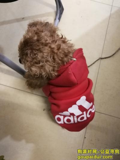 寻狗网,捡到穿红色衣服的小泰迪,狗主人看见赶紧来认领,它是一只非常可爱的狗狗,希望狗狗早日回家,不要变成流浪狗。