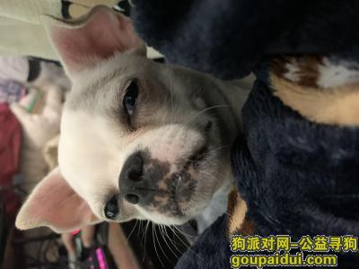 盐城寻狗,2020年12月1号下午时分,盐城大丰加油站附近丢了一条小白狗,它是一只非常可爱的宠物狗狗,希望它早日回家,不要变成流浪狗。