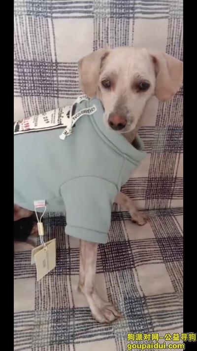 东营寻狗网,小白快回家吧,不要吃它,以前是流浪狗,它是一只非常可爱的宠物狗狗,希望它早日回家,不要变成流浪狗。