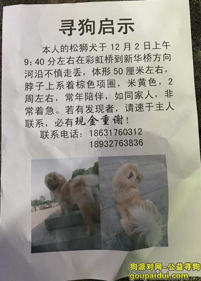 沧州寻狗启示,沧州运河区彩虹桥重金寻找松狮犬,它是一只非常可爱的宠物狗狗,希望它早日回家,不要变成流浪狗。
