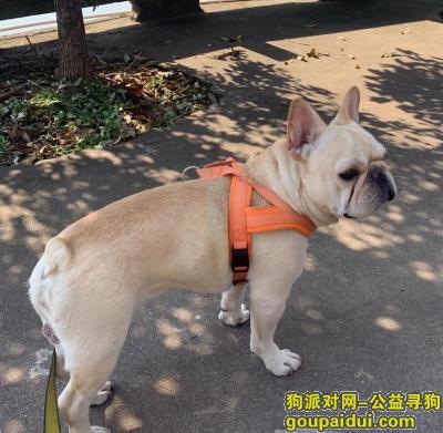 金华寻狗,12月1号下午两点40丢失奶白色法斗!望好心人发现及时告知我谢谢!,它是一只非常可爱的宠物狗狗,希望它早日回家,不要变成流浪狗。