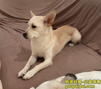 苏州找狗,田园狗,找到必有重谢!,它是一只非常可爱的宠物狗狗,希望它早日回家,不要变成流浪狗。