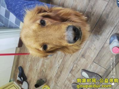 南京找狗主人,南京江宁区智汇路捡到金毛一只,它是一只非常可爱的宠物狗狗,希望它早日回家,不要变成流浪狗。