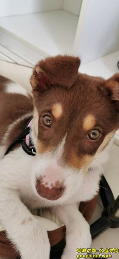 聊城找狗,寻 小边牧一只 白花咖啡色,它是一只非常可爱的宠物狗狗,希望它早日回家,不要变成流浪狗。