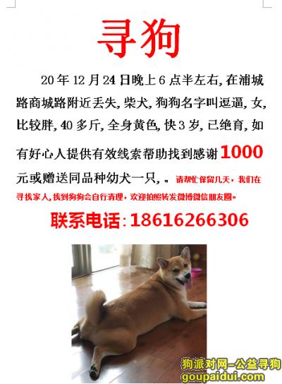 上海寻狗启示,上海浦东新区浦城路商城路寻找柴犬,它是一只非常可爱的宠物狗狗,希望它早日回家,不要变成流浪狗。