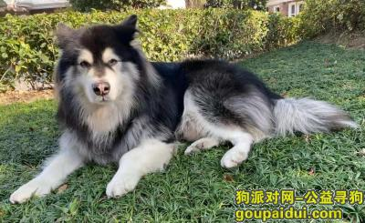 上海找狗,上海闵行区星中路1111弄寻找阿拉斯加,它是一只非常可爱的宠物狗狗,希望它早日回家,不要变成流浪狗。