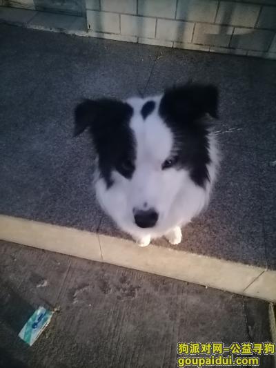 厦门找狗,海沧寻找一只3岁多的男边牧,它是一只非常可爱的宠物狗狗,希望它早日回家,不要变成流浪狗。