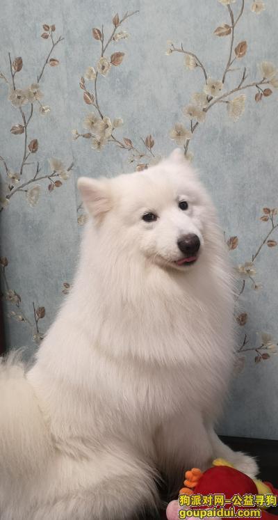桂林寻狗启示,不小心跑丢萨摩耶一只,它是一只非常可爱的宠物狗狗,希望它早日回家,不要变成流浪狗。