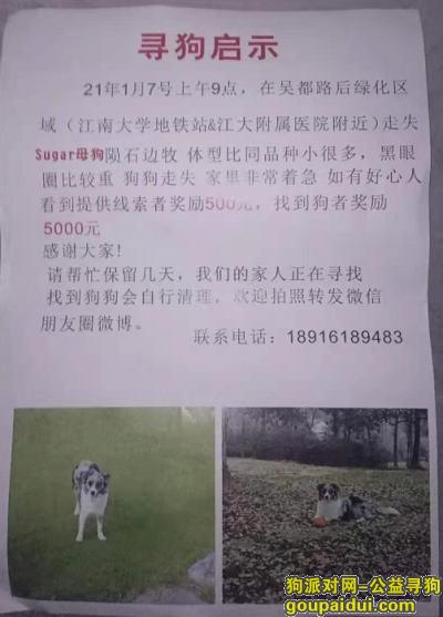 无锡寻狗网,无锡吴都路酬谢五千元寻找边牧,它是一只非常可爱的宠物狗狗,希望它早日回家,不要变成流浪狗。