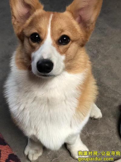 找狗,品种柯基,刚生娃宝宝两个月,一岁半大,它是一只非常可爱的狗狗,希望狗狗早日回家,不要变成流浪狗。