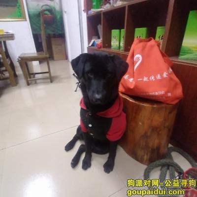 河源寻狗启示,黑色拉布拉多串串,十一个月,,它是一只非常可爱的宠物狗狗,希望它早日回家,不要变成流浪狗。