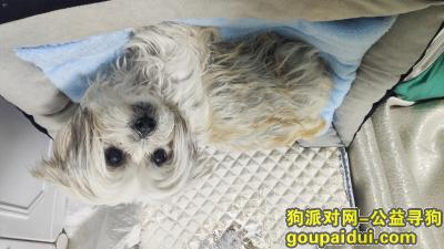 南京捡到狗,小狗狗(西施串?)找主人,它是一只非常可爱的宠物狗狗,希望它早日回家,不要变成流浪狗。