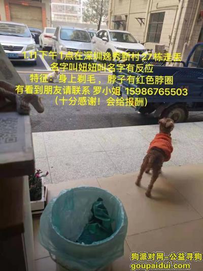 深圳寻狗,2020年1月11日在深圳民治逸秀新村走丢贵宾一支,请有拾到的盆友联系,它是一只非常可爱的宠物狗狗,希望它早日回家,不要变成流浪狗。