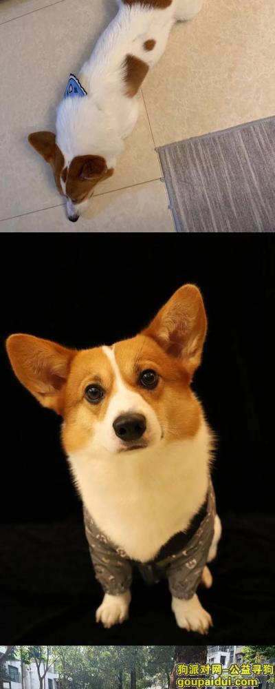 深圳找狗,寻找柯基(白色身子、飞机耳、屁股有类似心型棕色毛),它是一只非常可爱的宠物狗狗,希望它早日回家,不要变成流浪狗。
