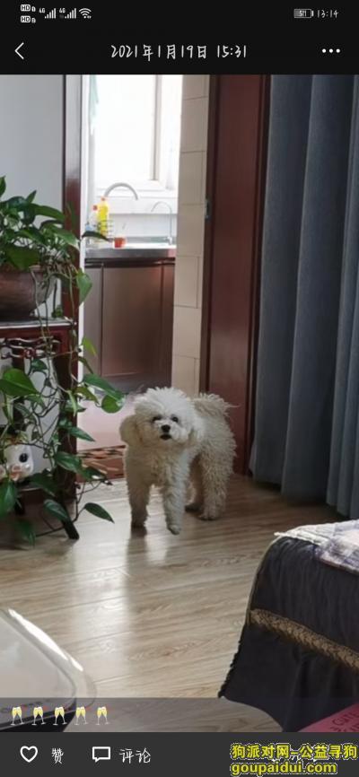 安阳寻狗启示,找丢失比熊犬希望大家有线索的联系,它是一只非常可爱的宠物狗狗,希望它早日回家,不要变成流浪狗。