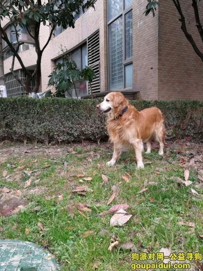 武汉寻狗网,急寻爱家国际的大金毛,它是一只非常可爱的宠物狗狗,希望它早日回家,不要变成流浪狗。