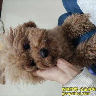 义乌捡到狗,在柳青区一只棕色泰迪犬,它是一只非常可爱的宠物狗狗,希望它早日回家,不要变成流浪狗。