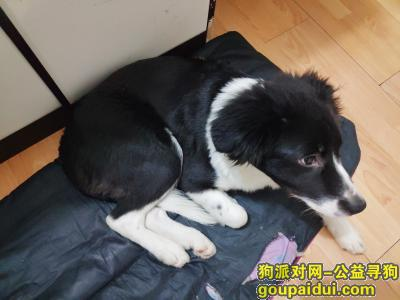上海寻狗网,上海市宝山区友谊路宝林二村菜市场附近寻找边牧爱犬,它是一只非常可爱的宠物狗狗,希望它早日回家,不要变成流浪狗。