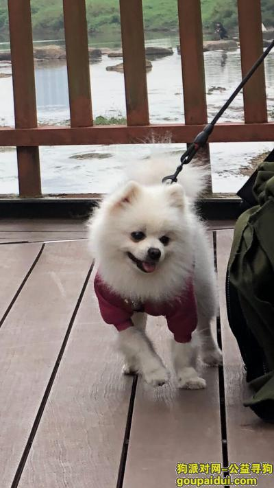 长沙找狗,长沙市金井小区丢失爱犬白色博美,它是一只非常可爱的宠物狗狗,希望它早日回家,不要变成流浪狗。