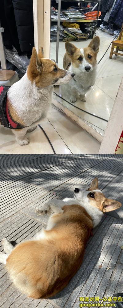 义乌找狗,急!寻柯基!如找到 必有重谢!,它是一只非常可爱的宠物狗狗,希望它早日回家,不要变成流浪狗。