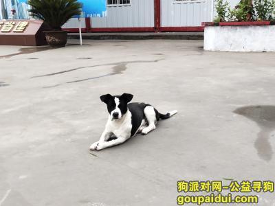 潍坊丢狗,潍坊找狗,丢失一直黑白田园犬,它是一只非常可爱的宠物狗狗,希望它早日回家,不要变成流浪狗。