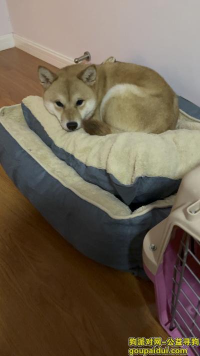 上海寻狗启示,上海宝山上大路文海路附近找狗 重酬,它是一只非常可爱的宠物狗狗,希望它早日回家,不要变成流浪狗。