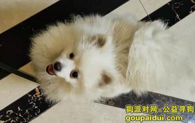 南昌找狗,红谷滩新区寻找丢失的博美2021年2月11日,它是一只非常可爱的宠物狗狗,希望它早日回家,不要变成流浪狗。