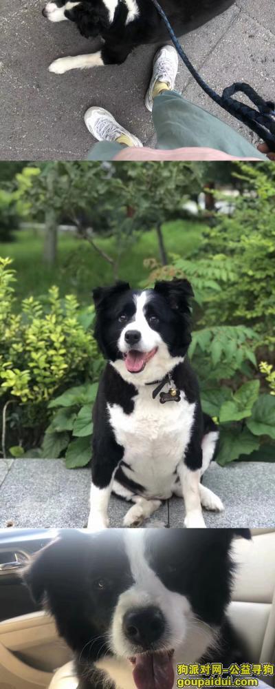 徐州找狗,寻找母边牧 黑白色 重金感谢,它是一只非常可爱的宠物狗狗,希望它早日回家,不要变成流浪狗。