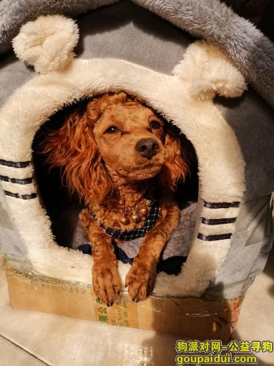 亳州找狗,谯城区文帝西路刘庄还原小区门桥头棕色公的小泰迪,它是一只非常可爱的宠物狗狗,希望它早日回家,不要变成流浪狗。