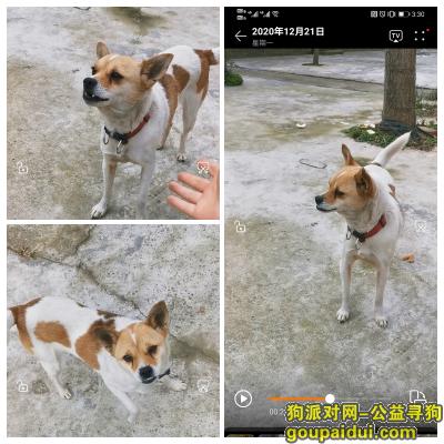 泰州找狗,靖江市五圩村3余庄附近走丢黄白花色田园犬,它是一只非常可爱的宠物狗狗,希望它早日回家,不要变成流浪狗。