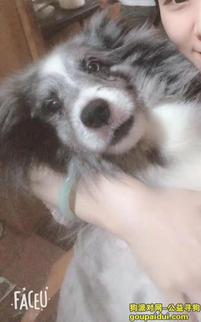 杭州寻狗,有偿寻狗,找狗,喜乐蒂 灰白色,它是一只非常可爱的宠物狗狗,希望它早日回家,不要变成流浪狗。