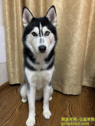 找狗,寻狗启示,西宁城北区丢失一条黑白色哈士奇,它是一只非常可爱的狗狗,希望狗狗早日回家,不要变成流浪狗。